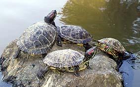 Pseudemys scripta elegans for Sassi per tartarughe