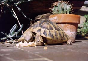 Testudo hermanni for Tartaruga di terra maschio o femmina